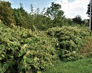 Weeds with Laura Wyeth Part II: The Japanese Knotweed
