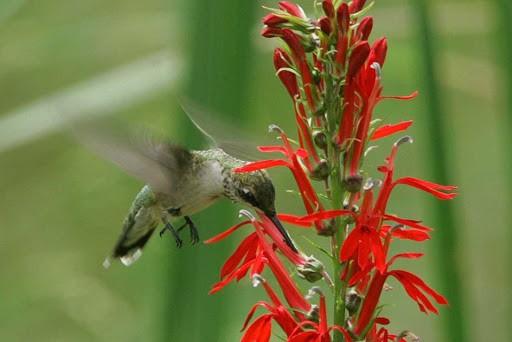 A hummingbird visiting a cardinal flower.