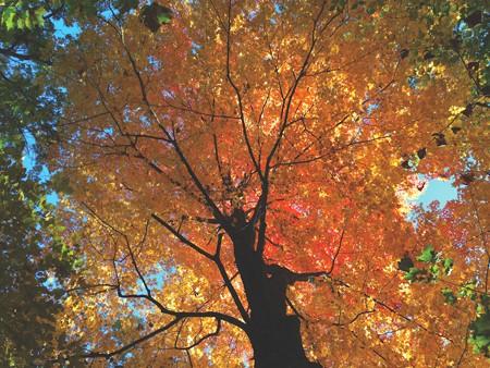 Maple tree, Kingston Rotary Park, October 26 - BRIAN K. MAHONEY