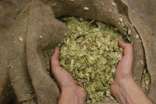 Inspecting hops at the Brewery at Bacchus in New Paltz
