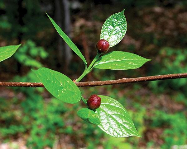 Sweetshrub flower buds - LARRY DECKER