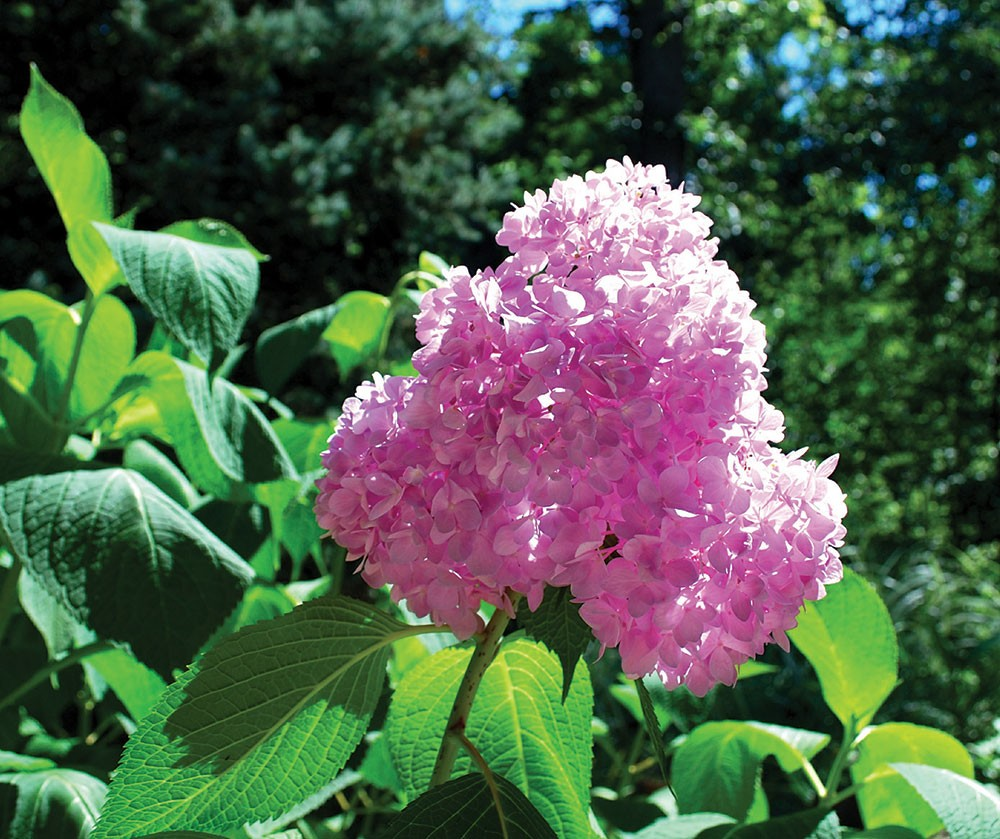 The showy blue and pink mophead type hydrangeas can be difficult to grow in the Hudson Valley - LARRY DECKER