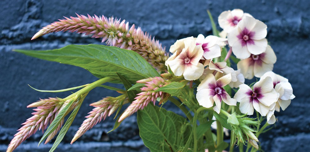 Click To Enlarge Celosias (left) And Phlox (right) Are Sturdy Cut Flower  Plants That Are