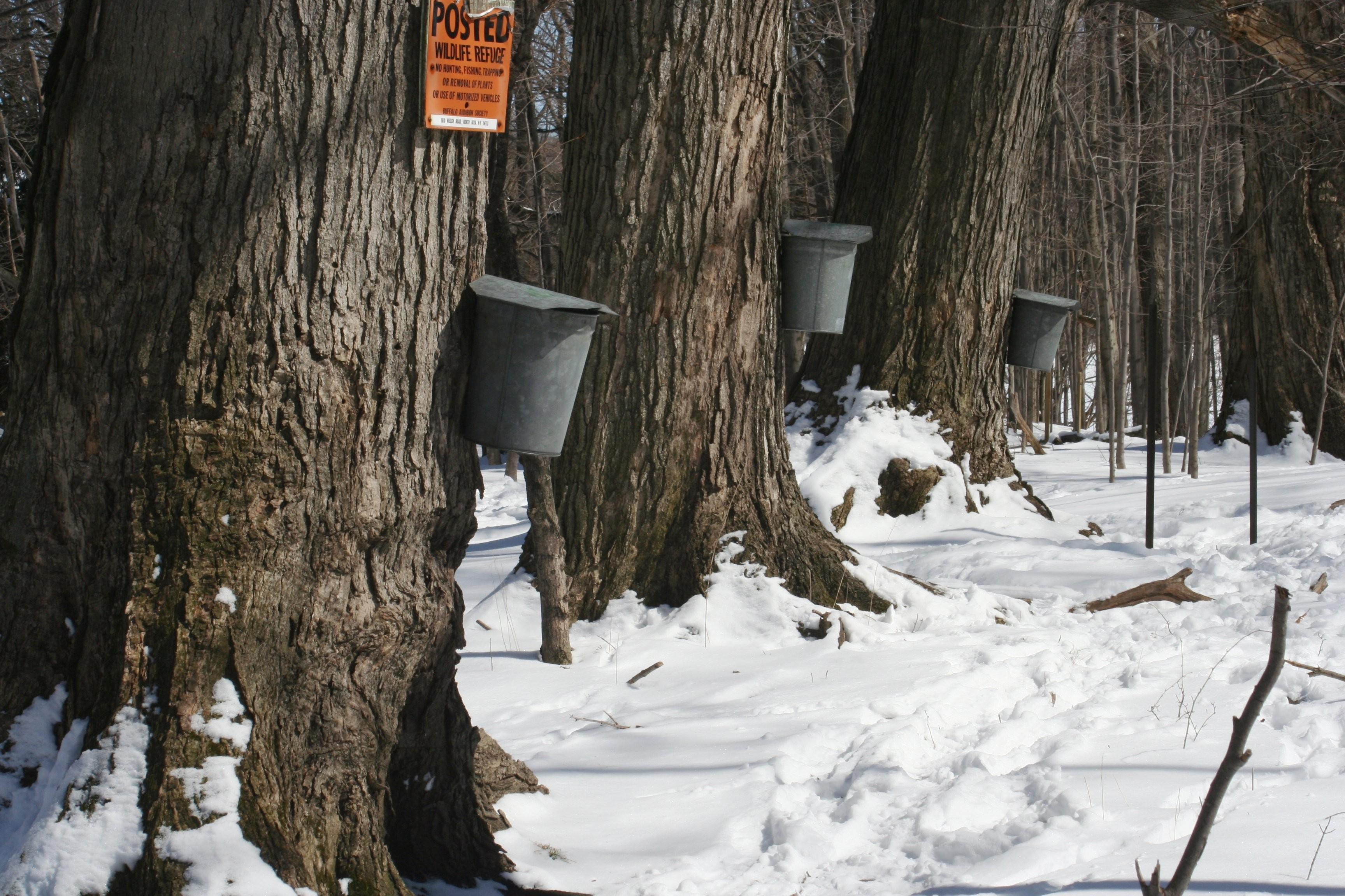 accae884aa1 click to enlarge maple sap buckets - beaver meadow audubon center.jpg. Syrup  season is upon us. In the Hudson Valley