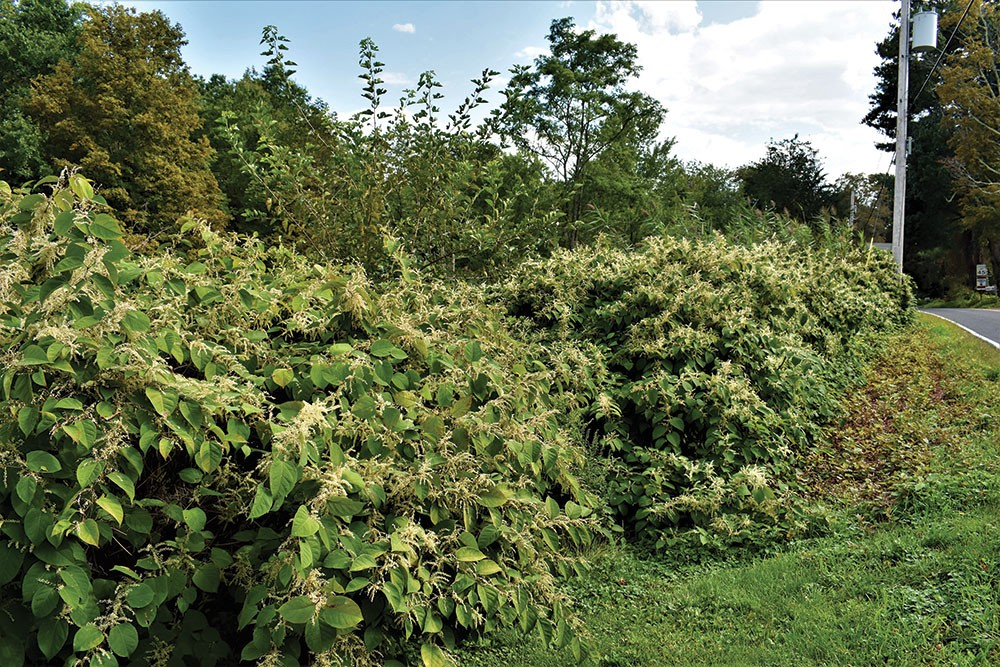 Weeds with Laura Wyeth Part II: The Japanese Knotweed | Gardening ...