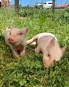 Harvey and Marsha, two pigs at the Woodstock Animal Sanctuary.