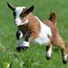 Baby Goats Visit the Library @ Tivoli Free Library