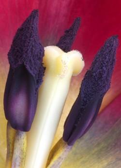 Tulip, Photograph by H. David Stein - Uploaded by 510 Warren Street Gallery