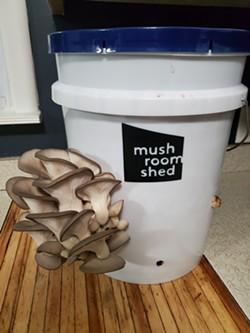 Large mushroom kit, fruiting oyster mushrooms - Uploaded by cealloway