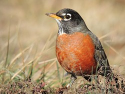 385578cd_american_robin_close-up-700x523.jpg