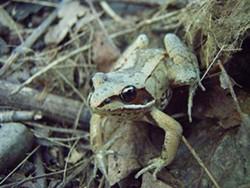 4fe21b4e_1280px-wood_frog.jpg