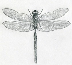 bd30316a_dragonfly-drawings11.jpg