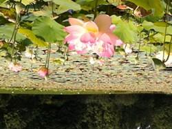 a63549f5_lilies_photo.jpg