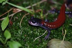 4057df14_karen_lips_amphibian.jpg
