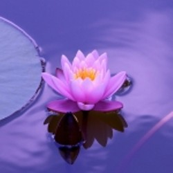 6d829d96_lotus-flower-150x150.jpg