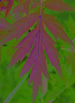810525f3_mugwort_leaf4_resized_2012.jpg