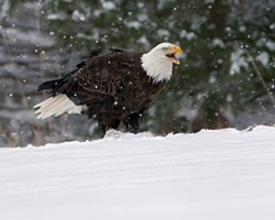 89fb81fb_snow-eagle-stephen-davis.jpg