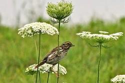 a28867f3_savannah-sparrow2_lynne_harding_ooms-300x200.jpg