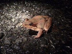 aebb2896_big-night-wood-frog-2-300x225.jpg