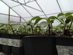 0c5f3ef3_sunflower_seedlings.jpg
