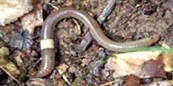 Invasive Asian Jumping Worm - Uploaded by Mud Creek Environmental Learning Center