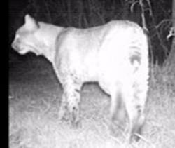 Bobcat - Uploaded by Mud Creek Environmental Learning Center