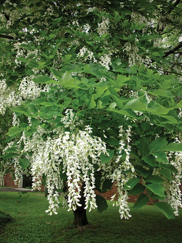 Well-sited urban trees like this yellowwood provide beauty, shade, and enhanced property values - MICHELLE SUTTON