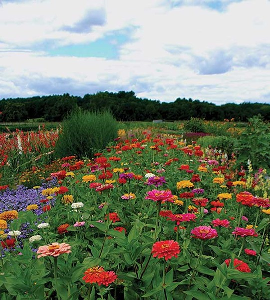 Zinnias are named for a German botanist named Johann Gottfried Zinn. - LARRY DECKER