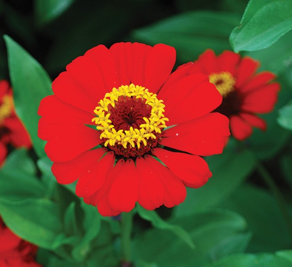 Zinnias - LARRY DECKER