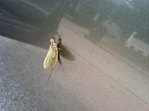 A mayfly as seen on the side of a car in Lakewood