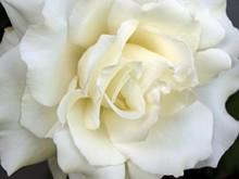 white_rose_jpg-magnum.jpg