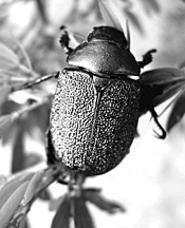 Meet the beetle at the Cleveland Botanical Garden's - Bugged Out! (Thursday).