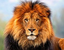 lion_jpg-magnum.jpg