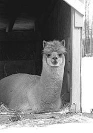 One of the worlds funniest looking animals, the - alpaca, is at Fiberfest.
