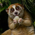 This Adorable Rare Primate Was Recently Born at the Akron Zoo