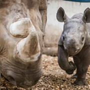 Cleveland Metroparks Zoo Debuts Lulu the Baby Rhino and She's Too Cute To Handle