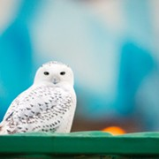 Snowy Owls are Officially Back in Cleveland For the Winter
