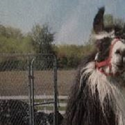 Have You Seen This Missing Llama?