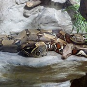 Pet Boa Constrictor Nearly Strangles Its Ohio Owner, Firefighters Cut Off Snake's Head