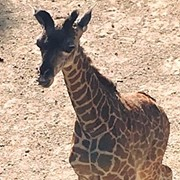 You Can Now Help Name Cleveland Metroparks Zoo's New Baby Giraffe