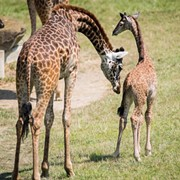 Cleveland Metroparks Zoo's New Baby Giraffe Finally Has a Name