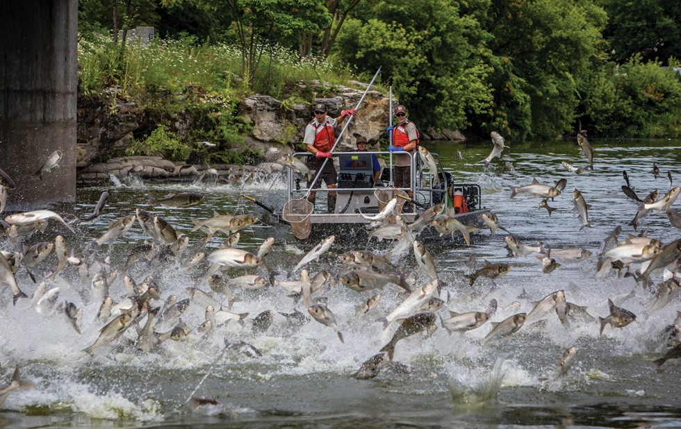 Silver carp jumping in the Fox River in Illinois. - PHOTO  BY RYAN HAGERTY/U.S. FISH AND WILDLIFE SERVICE