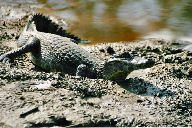 This is not a photo of the actual caiman found in Willoughby Hills. - PHOTO VIA WIKIPEDIA