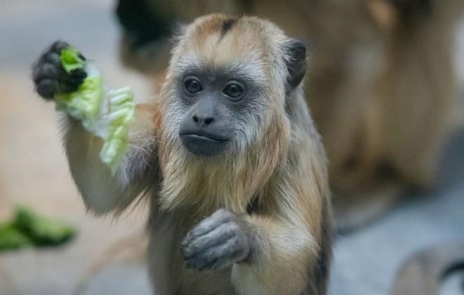 howler_monkey.jpg?cb=1549047926
