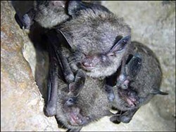 Indiana bats, just hanging out. - ANN FROSCHAUER/USFWS