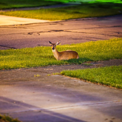 A deer lounges at the bottom of a Broadview Heights driveway. - PHOTO VIA DIGITAL504/INSTAGRAM