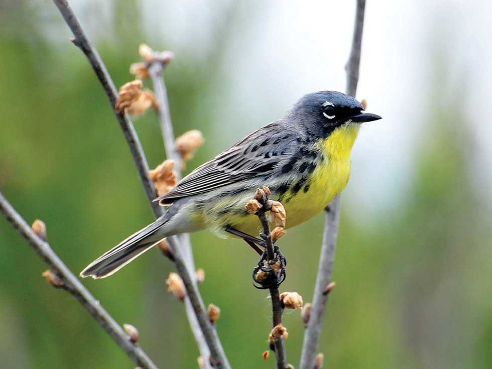 Kirtland's warbler in Michigan - PHOTO BY JOEL TRICK