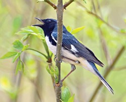 Black-throated blue - warbler at Magee Marsh - PHOTO BY RODNEY CAMPBELL