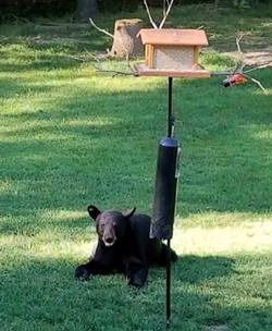 A black bear who took up temporary residence on Kirtland Chardon Road this weekend. - KIRTLAND POLICE DEPARTMENT
