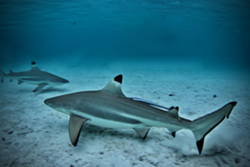 A pair of blacktip sharks. - PHOTO VIA TOUTIESS/INSTAGRAM